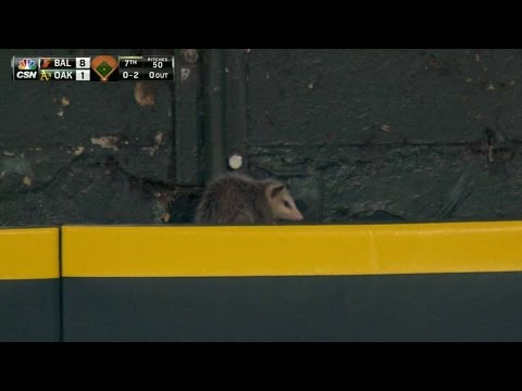 Opossum takes in the game from left field