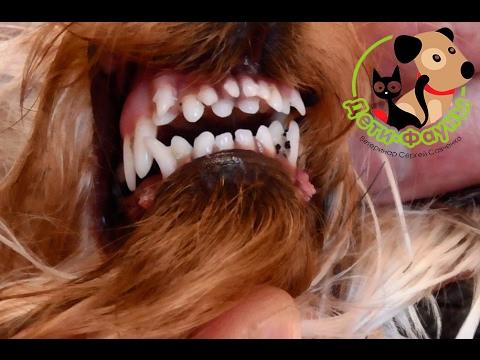 сколько зубов у собаки йоркширского терьера