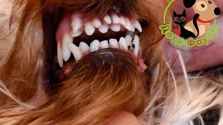 Зубы у йорка. Нарушение смены зубов у собаки