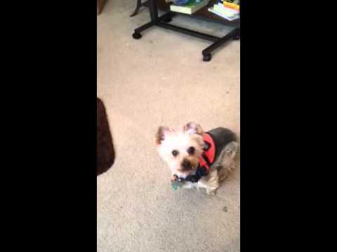 Baby Budda My Yorkie Service Dog Saying A Prayer Before Eve Youtube