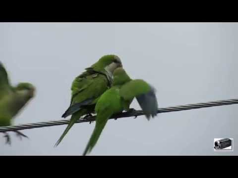 Wild Quaker Parrots in Our Backyard 07/15/2014