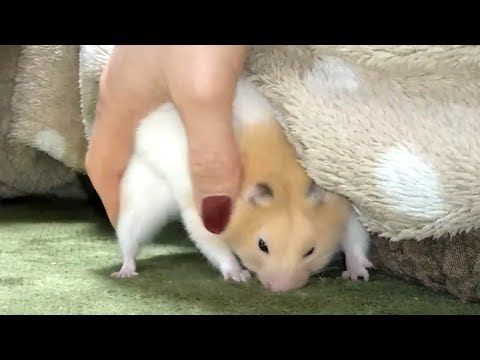 funny-hamster-fighting-invisible-enemies!【funny-&-cute-hamster-make-your-feel-at-ease】