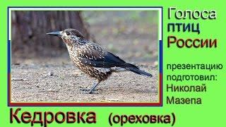 Кедровка. Голоса птиц России