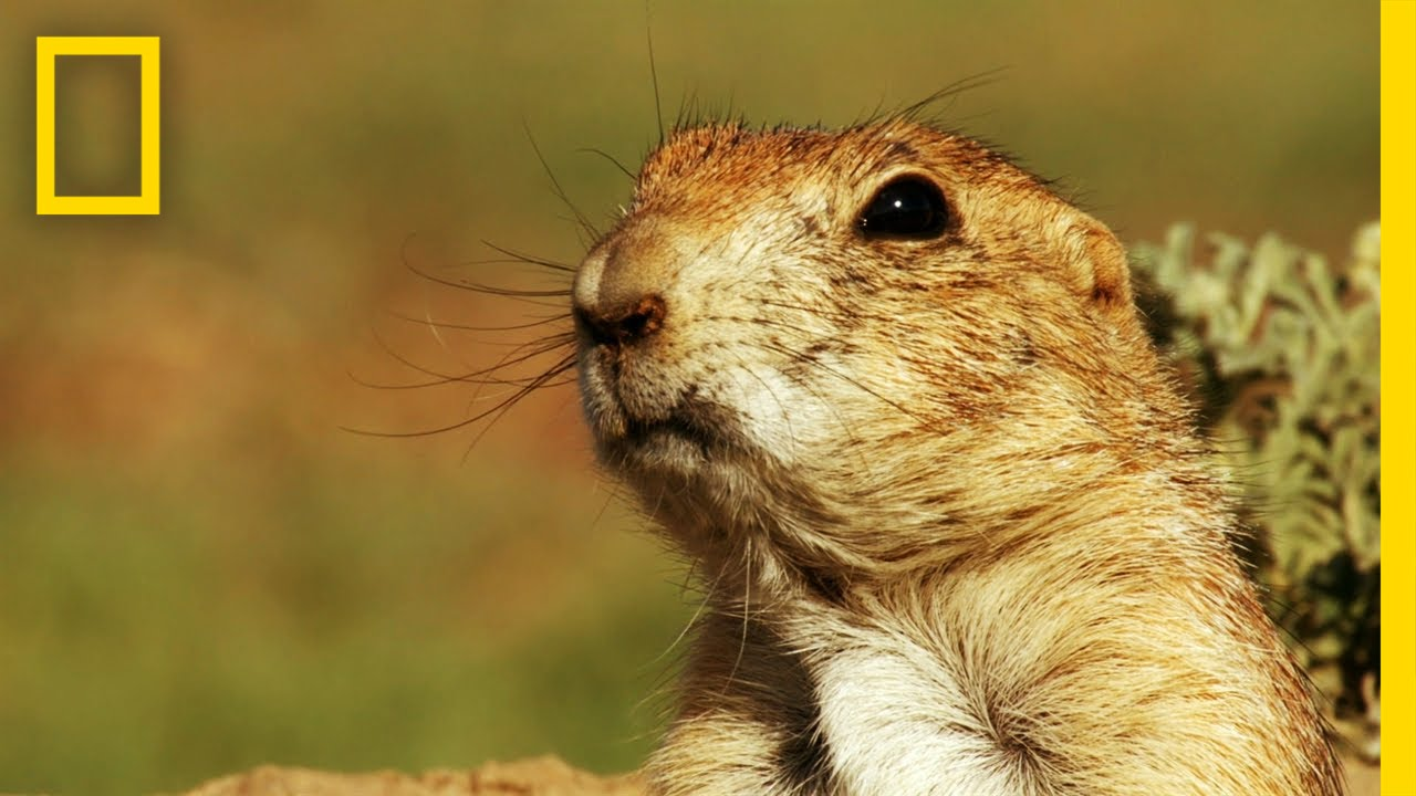 Prairie Dog Emergency Alert System America S National Parks Youtube