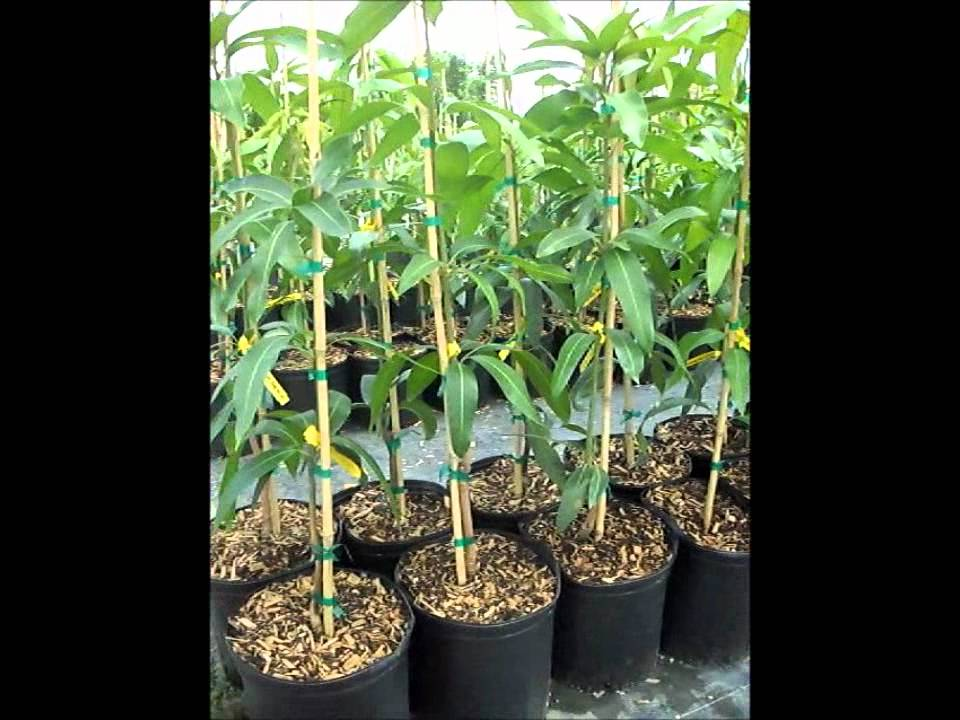 Mango Trees Varieties For South Florida