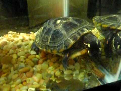 Painted Turtle Eats Crayfish