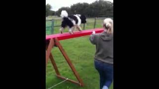 Leadership Dog Training Hertfordshire - Buddy.mov
