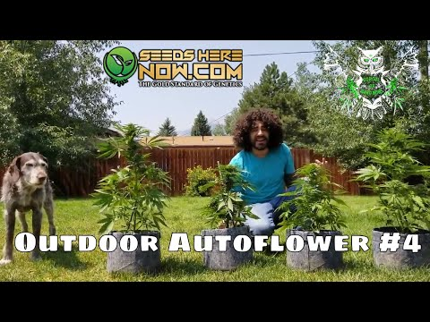 Outdoor Autoflower Update 4- Cannabis Seed to Harvest Series- High Altitude Outdoor Marijuana