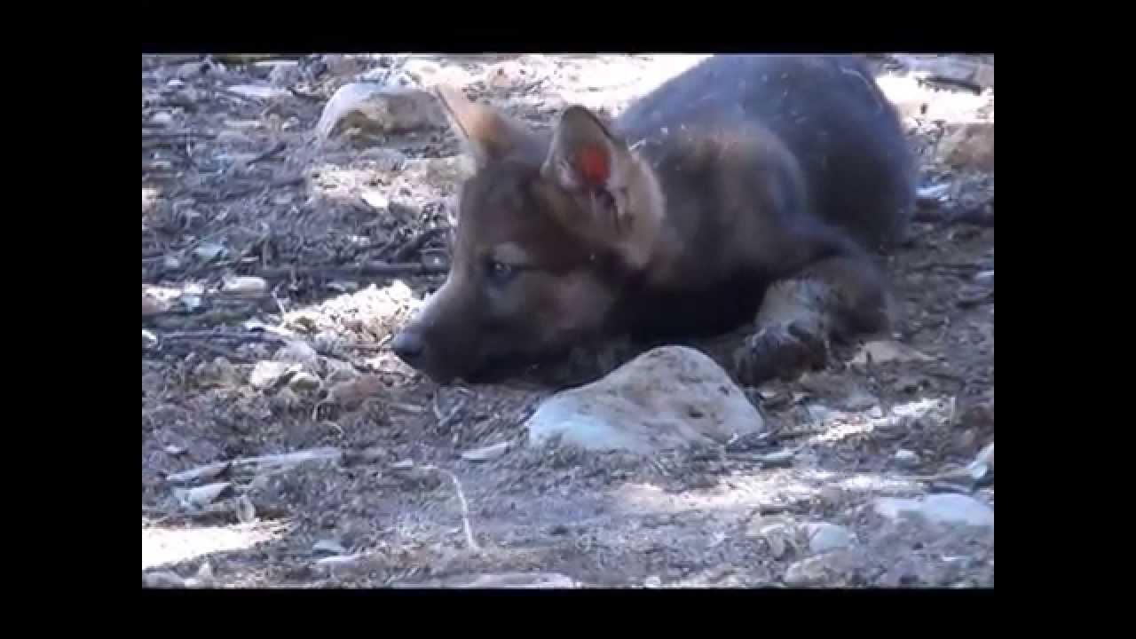 Los Cachorros De Lobo Ibérico Con 45 Días Youtube