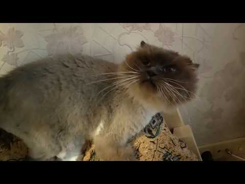 A funny and aggressive game of cat breed rag-doll. Смешная и агрессивная игра кошки породы Рэг-долл.
