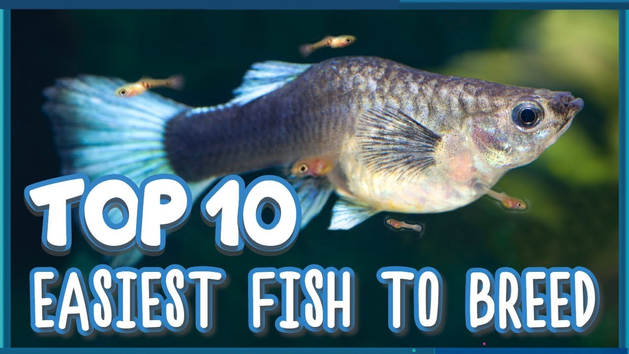 Easiest Freshwater Fish To Breed In Aquarium Youtube