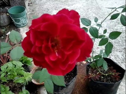 How To Create Rose Plants From Rose Branches Youtube