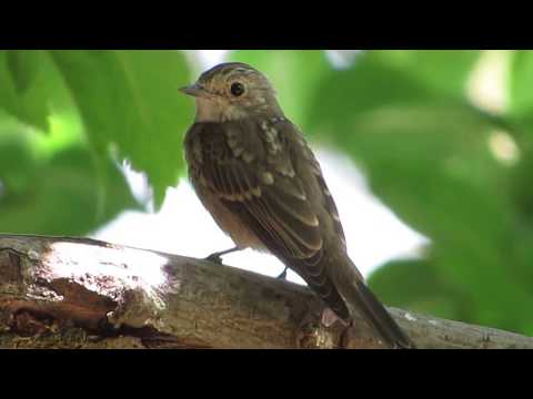 Spotted flycatcher (Muscicapa striata)  Σταχτομυγοχάφτης - Μ