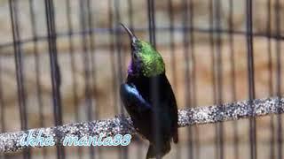 Suara Burung Konin Betina Dewasa Pancing Agar Cepar Gacor