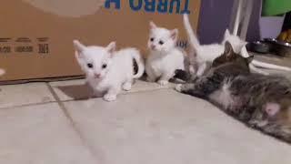 Котята Манчкин.