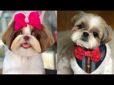 Best Of Cutest Shih Tzu Puppies and Dogs Videos Compilation