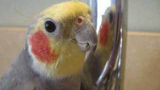 Talkative Cockatiel Sings