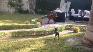 Funny Video Of Cat Stalking Little Mini Doberman Pinscher