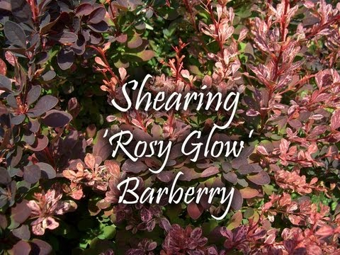 Shearing Rosy Glow Barberry In Landscape Beds Youtube