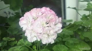 Цветущие сортовые пеларгонии + покупки, мои новинки. Pelargoniums
