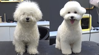Change for Adorable dog! / Bichon Frise Grooming