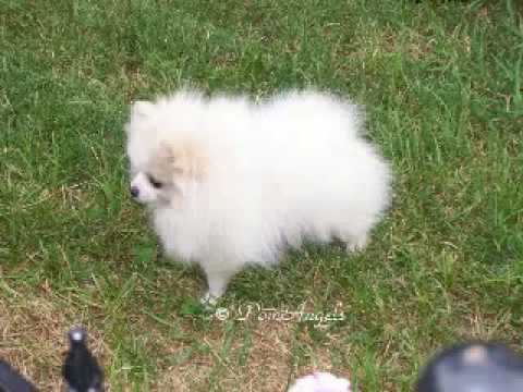 male pomeranian for sale pomeranian white cream parti male for sale youtube 5943