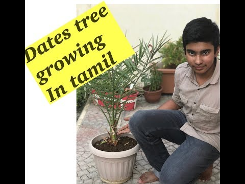 Dates tree growing/ tamil / in Qatar/ how to grow in pot