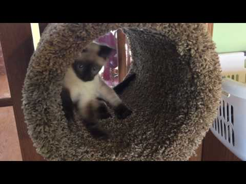 Thumbnail: My sister's kitten spazzing out in his new cat tree!