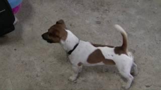 Jack Russell Terrier In Fox Training