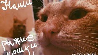 Наши рыжие кошки: Бо и Лизка / Orange cats, red cat, cats in love