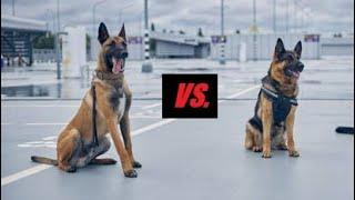 German Shepherd Vs. Belgian Malinois ⭐ Differences ⭐ Competition, Comparison &am