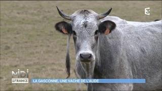 La Gasconne, une vache de l'Aude
