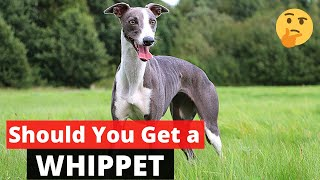 Whippet: Interesting Facts and Information on this Cute Breed