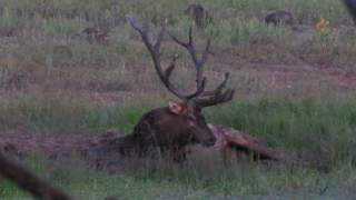 San Carlos Apache Reservation rutting bull