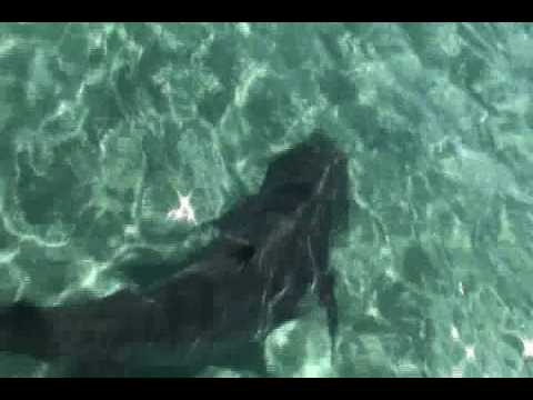 Tiger Sharks feasting on Whale Carcass - Ningaloo Reef