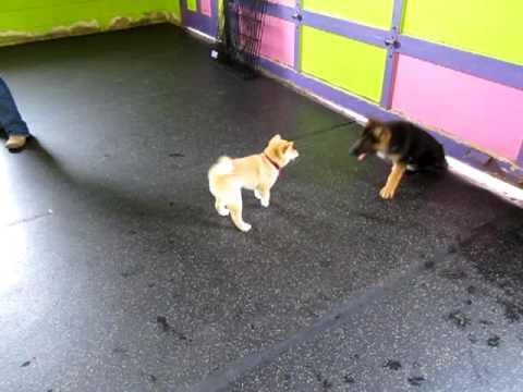 Shiba Inu Puppy vs. German Shepherd Puppy - Round 2