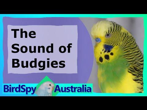 3 Hours of Budgies Chirping and Singing   BirdSpyAus