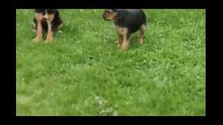 Cavalier King Charles Spaniel Mix Puppies For Sale