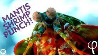 [5.78 MB] Mantis Shrimp Punch at 40,000 fps! - Cavitation Physics