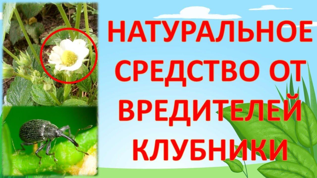 Средство от долгоносика и от клещей на клубнике во время цветения  плодоношения  Земляника, клубника
