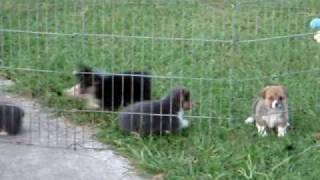 Pembroke Welsh Corgi Puppies - 6 Weeks