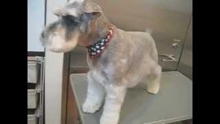 http://www.doggies.tv いつもボディは短ーくカットしているアイちゃん...