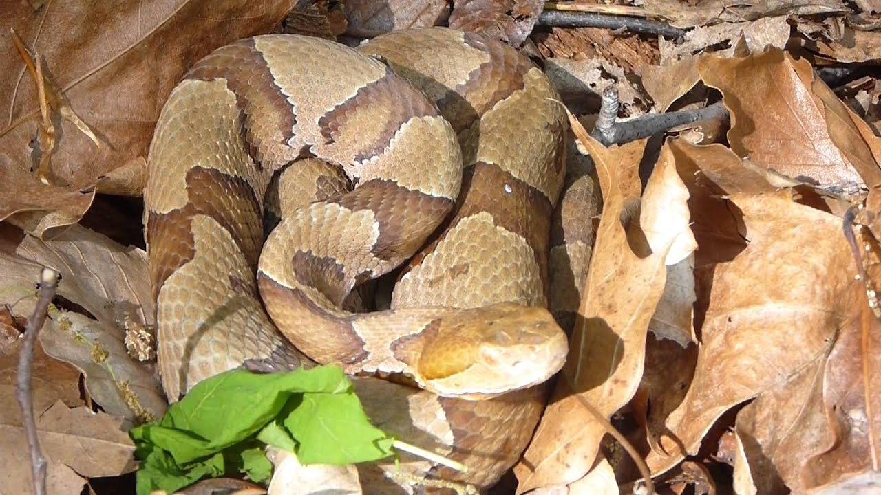 Searching for a Northern Copperhead Snake - YouTube