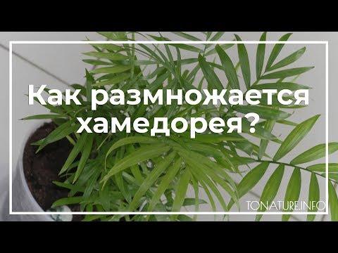 Как размножается хамедорея в домашних условиях