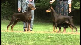 Doberman Pinscher - Akc Dog Breed Series