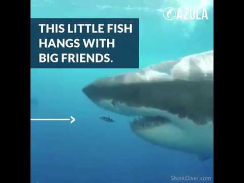 Pilot Fish & Great White Shark Are BFFs | Azula