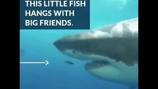 pilot fish great white shark are bffs azula