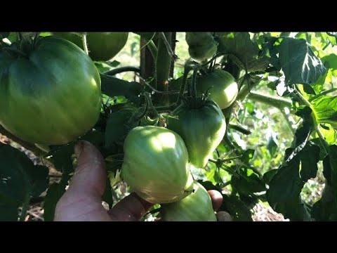 Какие томаты-гномы в открытом грунте. Обзор 25 июля 2021