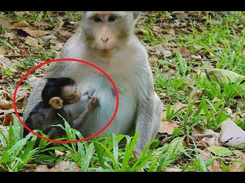 Pity Newborn baby monkey Very hungry, Mom give Special Care to baby.