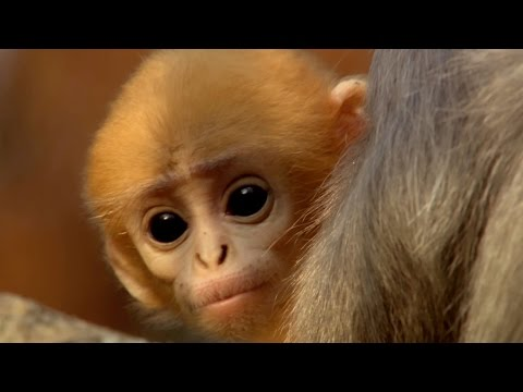 Cute baby monkey has too many babysitters - Animal Super Parents: Episode 3 Preview - BBC One